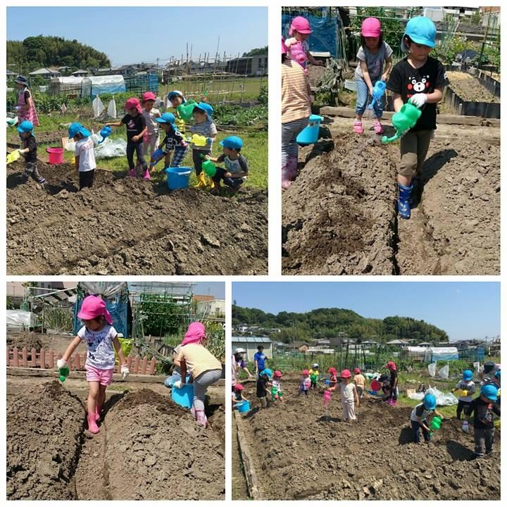 ☆お芋の苗植え作業☆認可保育所(みつよし園)3